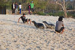 Galápagos Sea Lions Barking At Person, San Cristóbal