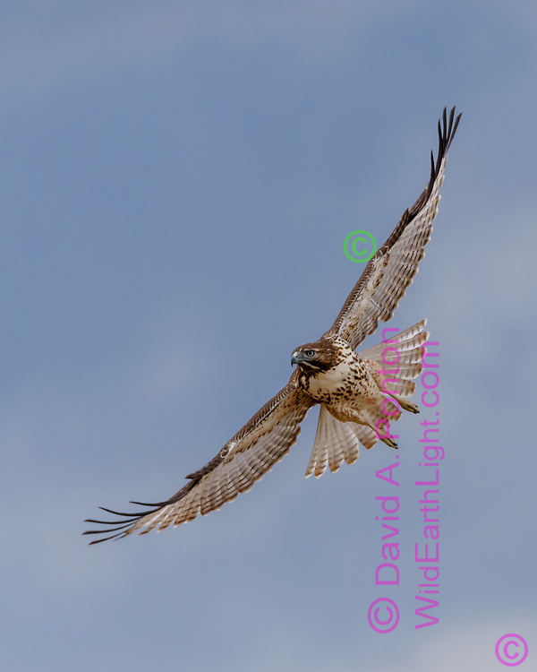 Juvenile red-tailed hawk in flight, banking across the wind, wings and tail fully spread, © David A. Ponton [Prints to 8x10, 16x20, 24x30, or 40x50 in. with no cropping]