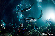 seven manta rays, Manta birostris, feeding at night on plankton attracted by divers' lights, Keahole, Kona, Hawaii Island ( the Big Island ) Hawaii, U.S.A. ( Central Pacific Ocean )