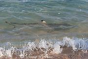 blackfin or blacktip reef shark ( Carcharhinus melanopterus ) cruises shoreline, looking for bait fish and seabird chicks, Turu Cay, Torres Straits, Queensland, Australia