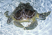 two-headed green sea turtle, <br /> Chelonia mydas (c)<br /> Xcaret, Mexico