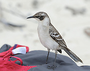 A Galápagos mockingbird (Mimus parvulus parvulus) shows interest in a tourist's bag left on the white sand of Tortuga Bay. This subspecies of Mimus parvulus is endemic to Santa Cruz, North Seymour, Daphne Major, Isabela and Fernandina. Tortuga Bay. Puerto Ayora, Santa Cruz, Galapagos, Ecuador.