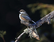 Boreal chickadee (Poecile hudsonicus) perched in winter habitat.