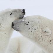 Polar bear (Ursus maritimus) pair. Cape Churchill, Manitoba, Canada