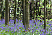 Bluebells in Philipshill Wood, near Chorleywood, on the Herts/Bucks border
