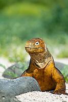 Portrait of Galapagos Land Iguana. Galapagos Islands, Ecuador.