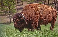 This Bull Bison is covered in red mud after rolling in a muddy wallow.  Custer State Park, South Dakota.