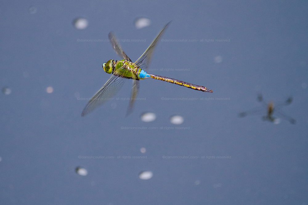 A dragonfly flying above water. Friday September 4th 2015