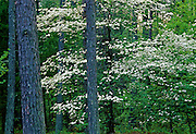 Dogwoods and Pines in spring - Mississippi