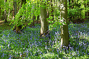 Bluebell wood with beech trees in ancient woodland at Bruern Wood  in The Cotswolds, UK