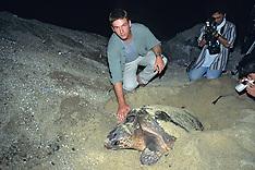 501 Nesting Loggerhead Turtles, Yakushima, Japan