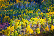 Aspens on hillside in the San Juan mountains of Colorado