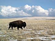 American Bison on Antelope Island, Utah