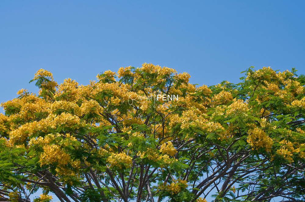 Photgraph of a yellow poncianna tree in bloom