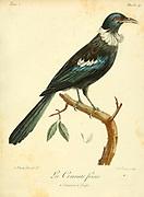 Tui cravate-frisée - (Prosthemadera novaeseelandiae) from the Book Histoire naturelle des oiseaux d'Afrique [Natural History of birds of Africa] Volume 2, by Le Vaillant, François, 1753-1824; Publish in Paris by Chez J.J. Fuchs, libraire 1799