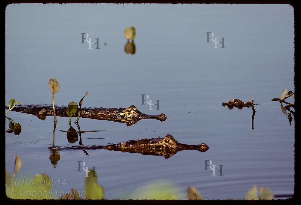 Placid water of Pantanal pond is dotted with the predatory eyes of two yacare caimans. Brazil