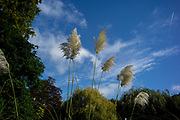 Maidenhead, Berkshire, United Kingdom, Tuesday,  12/10/2021,  General View, Pampas grasses, Ray Mill Island,  River Thames, Thames Valley, [Mandatory Credit; Pete Spurrier],