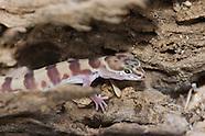 Tucson Banded Gecko, Coleonyx variegatus bogerti
