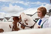 A young girl shows in the heifer class. The hairdryers are out and the shampoo is flowing at the Great Yorkshire Show, one of Britain's biggest agricultural shows. Its famous for its competitive displays of livestock. The event, established in 1837, attracts over 125 000 visitors a year and has over 10 000 entries to its pedigree competitions ranging from pigeons and rabbits to bulls and shire horses. At the heart of the show is the passion of the exhibitors who spend hundreds of hours ( and pounds)  training, preparing and grooming their animals. As one competitor put it ?I'm proud to say that the cattle are my friend, I have had cattle who have died and I have sat down and wept for them?