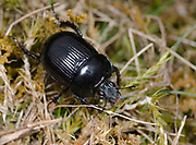 Close-up of a dor beetle (Geotrupes stercorarius) walking amongst grass in an open grassland habitat in a Norfolk in early autumn