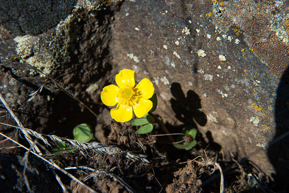 This beautiful diminutive buttercup can be commonly found across most of the Western half of Canada and the United States roughly (but not completely) to the east of the Cascade Mountain range, and is mostly associated with sagebrush desert and wide open plains. This one was found growing in a canyon just outside of Yakima, Washington in mid-March.