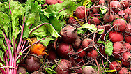 Close up photograph of freshly harvested organic red beets.