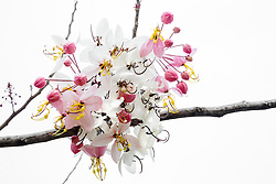 Cassia Bakeriana Pink Shower Wishing Tree#8