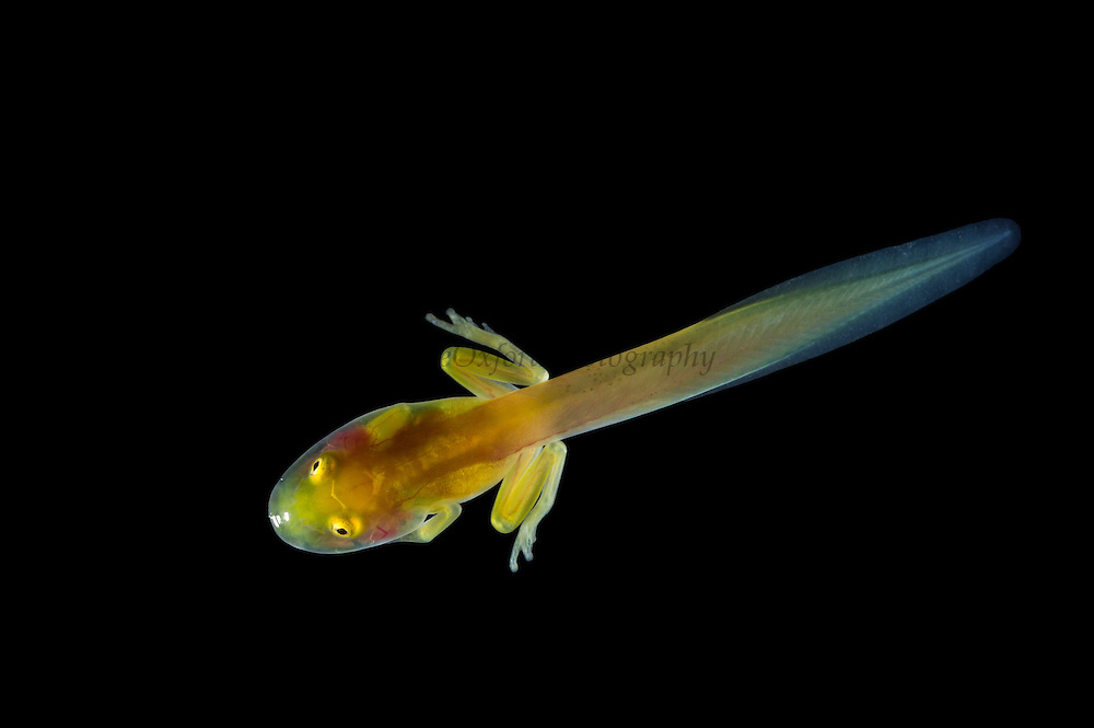 Glass Frog tadpole (Hyalinobatrachium aureoguttatum) CAPTIVE<br /> Chocó Region of northwest Ecuador on Colombian Border<br /> ECUADOR. South America<br /> Threatened species due to habitat loss.<br /> RANGE: Northern Ecuador, Colombia north to Panama