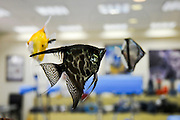 Angelfish (Pterophyllum scalare) in an indoor aquarium