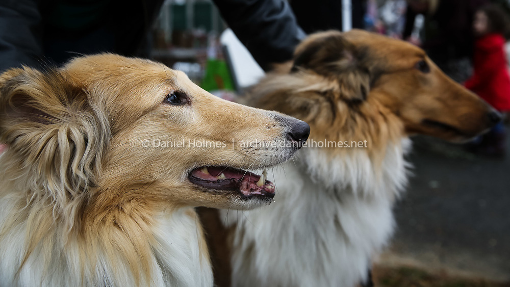 (1/9/16, MILFORD, MA) Dusty, 6, left, and Toby, 5, Collies, wait to have there photos taken during the photo fundraiser for two Milford dogs that need extraordinary care at Louisa Lake in Milford on Saturday. Proceeds benefit Sasha, the dog that belonged to the local couple that died from carbon monoxide, and Halo, an abuse case. Daily News and Wicked Local Photo/Dan Holmes
