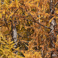 BOLZANO, ITALY - OCTOBER 14:    .A general view of a forest in Solda that as Autumnal colours appearing  on October 14, 2010 in Bolzano, Italy. Italy is currently enjoying the final warm spells of the summer, however, the shortening daylight hours and cooler weather is bringing Autumn foliage colours across the country.