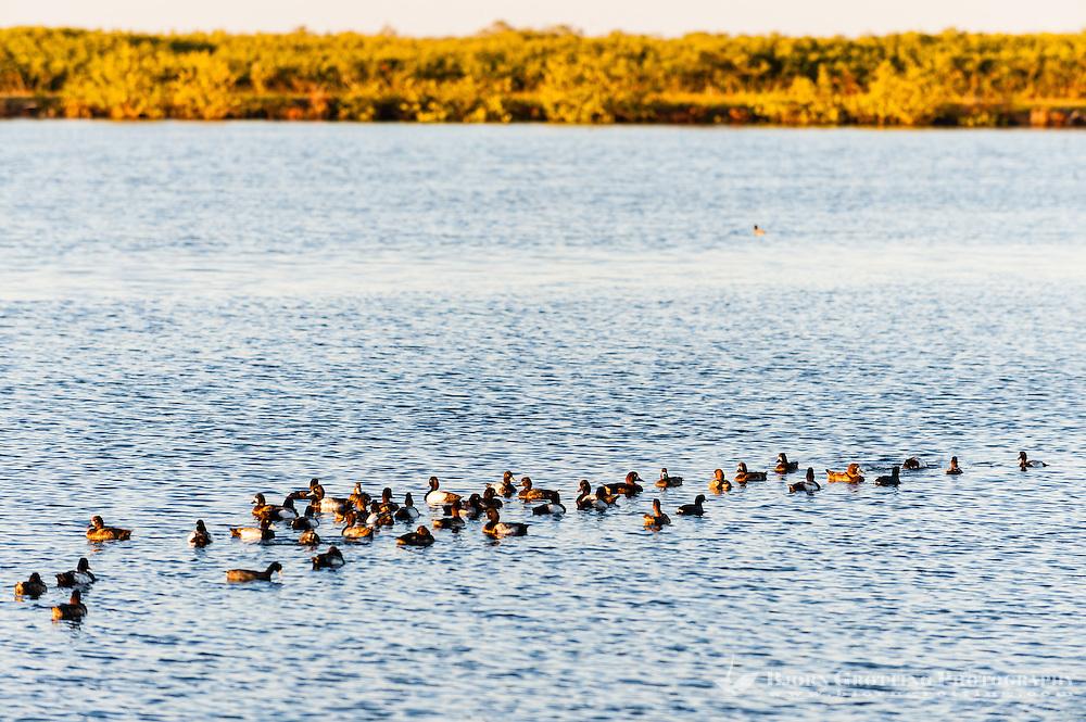 US, Florida, Merritt Island National Wildlife Refuge, Black Point Wildlife Drive. Greater Scaup.