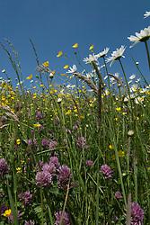 flora, flower Bloemrijke dijken bij Empel, rivierdijk