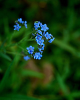 Forget-me-not. Image taken with a Leica SL2 camera and 24-90 mm lens.