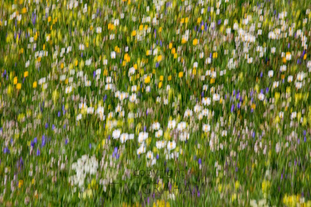 Blur effect Alpine wildflower meadow in the Swiss Alps below the Matterhorn near Zermatt, Switzerland
