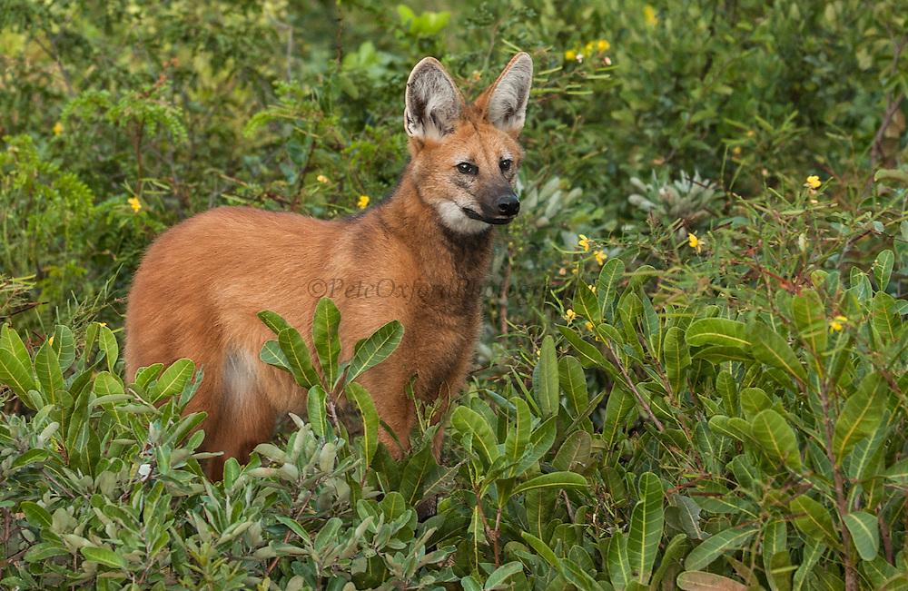Maned Wolf<br /> Chrysacyon brachyurus<br /> Range: c & ne Brazil, Lowlands of Bolivia, Paraguay & Argentina