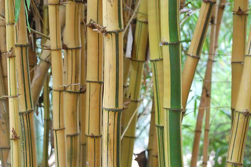 Morocco, bamboo, bamboo stalks, garden, green, yellow, bamboo shoots, botanical gardens, close-up, detail, nature, garden, closeup, close up, stalks,