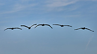 Brown Pelicans. Image taken with a Nikon D3x camera and 70-300 mm VR lens.