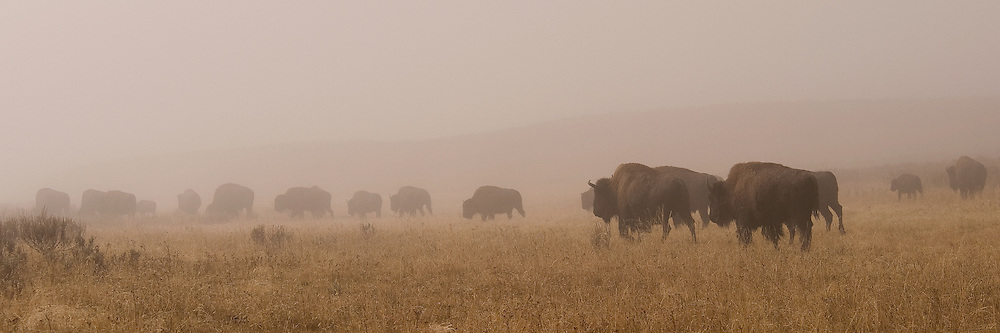 Bison walking through the mist in the Hayden Valley of Yellowstone National Park.
