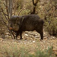 North America, Americas, USA, United States, Arizona.Collared Peccary at the Arizona-Sonora Desert Museum.
