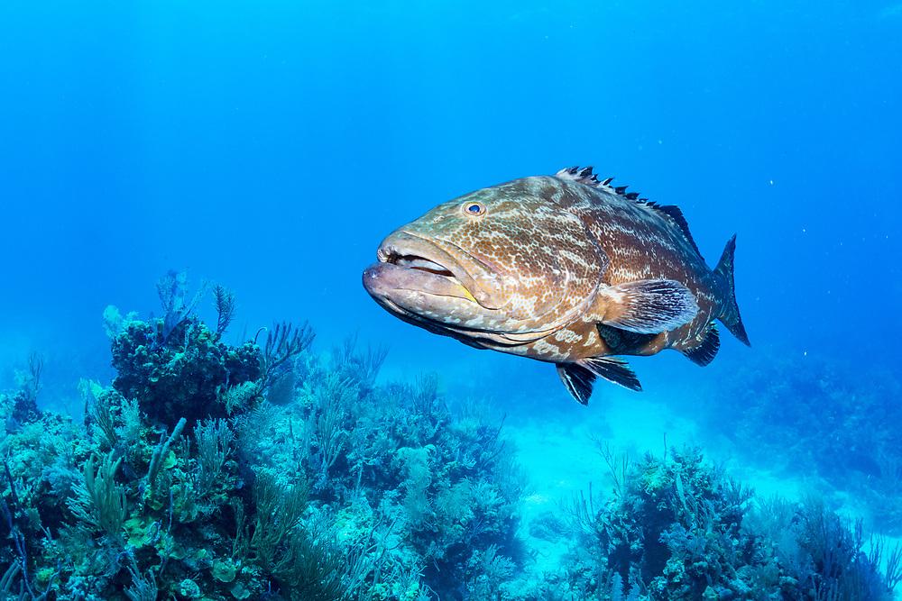 A large black grouper (Mycteroperca bonaci) in the Exuma Cays Land and Sea Park, Bahamas.