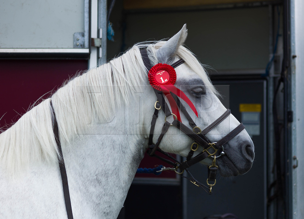 © Licensed to London News Pictures. <br /> 13/08/2014. <br /> <br /> Danby, North Yorkshire, United Kingdom<br /> <br /> A pony wears a first place rosette during the Danby Agricultural Show in North Yorkshire. <br /> <br /> This year is the 154th show which was founded in 1848. It is the oldest agricultural show in the area and offers sheep dog trials, judging of a variety of different animals such as cattle, sheep, ferrets, horses and rabbits along with different classes of horticulture and dairy. <br /> <br /> Photo credit : Ian Forsyth/LNP