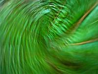 Sword Fern (Polystichum munitum) motion blur swirl - spin