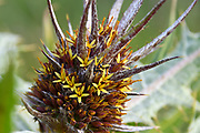 Gundelia tournefortii (Tumble Thistle) Photographed in the Jordan Rift Valley, Israel in March