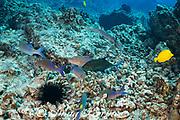 hunting coalition of blue goatfish or gold-saddle goatfish, Parupeneus cyclostomus, with bluefin jacks or omilu or bluefin trevally, Caranx melampygus, and a Pacific trumpetfish, Aulostomus chinensis, Kohanaiki, North Kona, Hawaii ( the Big Island ), USA ( Central Pacific Ocean )