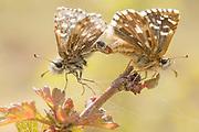 Grizzled skippers (Pyrgus malvae) mating. Surrey, UK.