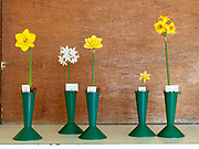 A selection of daffodils and narcissi on show at The Northern Group of the Daffodil Society show and competition at Pilley Community Centre, South Yorkshire.