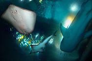 JPN, Japan: Okinawa Churaumi Aquarium, Stachelrochen (Dasyatis ushiei) li., Grosser Gitarrenrochen (Rhynchobatus djiddensis) m. und Walhai (Rhincodon typus) re., darueber das Scheinwerferlicht des Aquariums, Ocean Expa Park, Okinawa, Okinawa | JPN, Japan: Okinawa Churaumi Aquarium, Stingray (Dasyatis ushiei) left side, Guitarfish (Rhynchobatus djiddensis) in the middle and Whale Shark (Rhincodon typus) right side, aquarium spotlight above, Ocean Expo Park, Okinawa, Okinawa |
