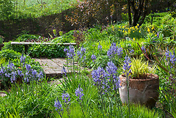 Spring border in the brick garden at Glebe Cottage including Camassias, Carex elata 'Aurea' and Tellima grandiflora. Hakonechloa macra 'Aureola' in terracotta pot. Wooden bench