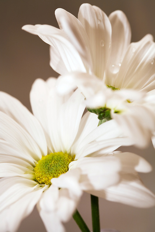 Strong lighting on two young daisies.  Brown backgroud for the warm feel of the image.  Some waterdrops on petals.